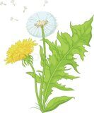 3362192-flowers-dandelions-with-green-leaves-yellow-and-with-seeds